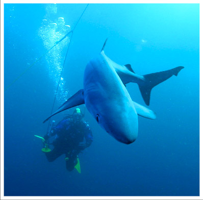 Diving with Shark